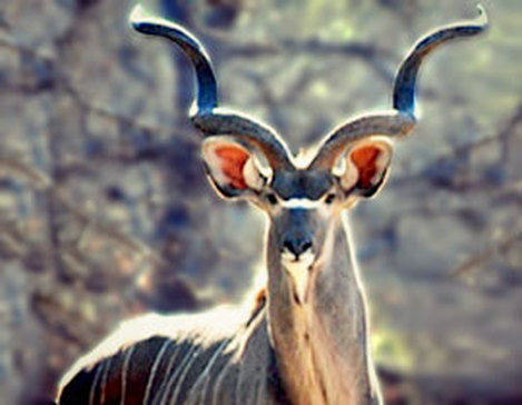 Kudu For Sale