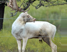 European Fallow for Sale